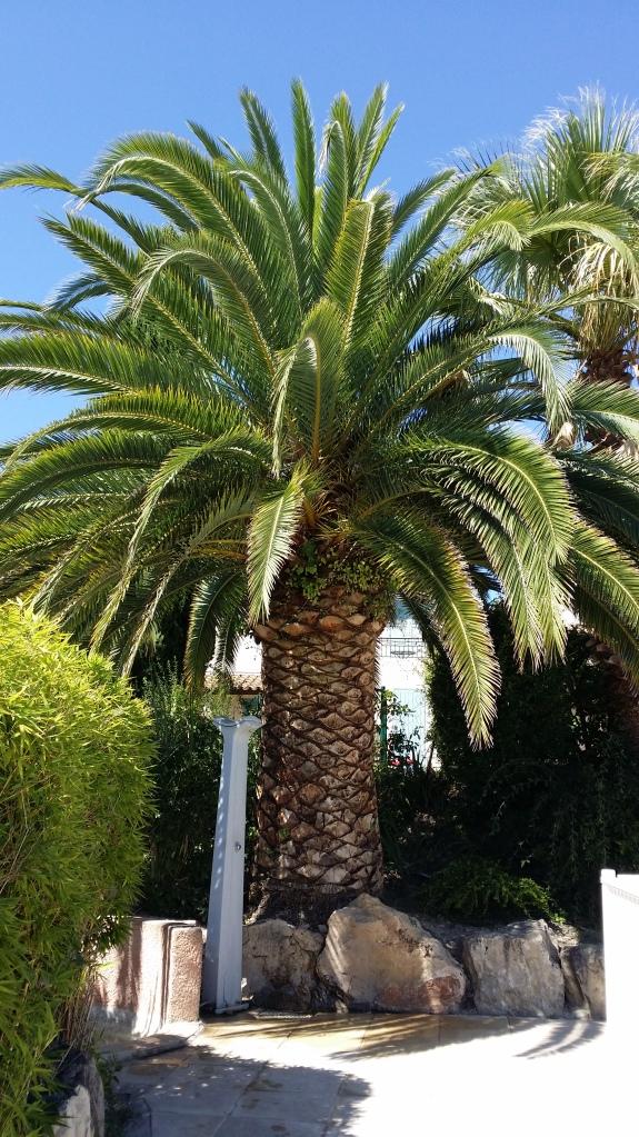 Palmen som står vid ingången till poolen.